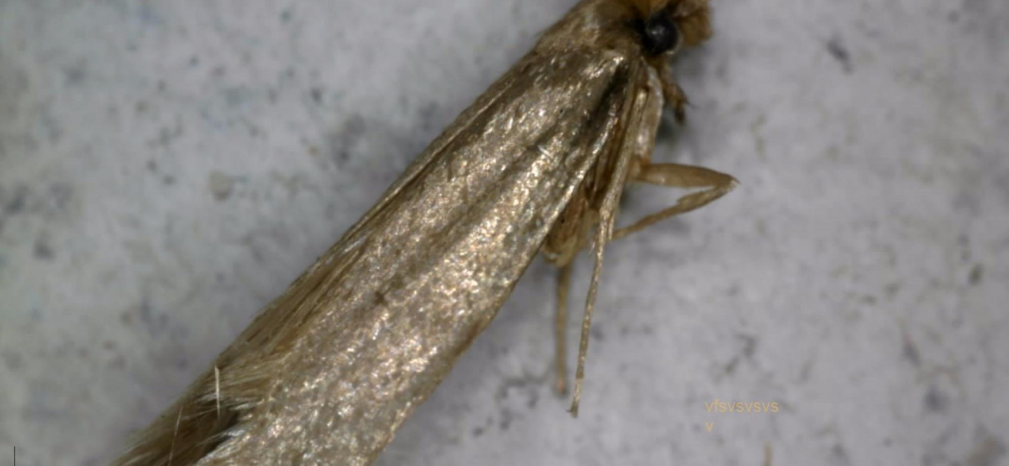 Présence de mites dans un isolant naturel